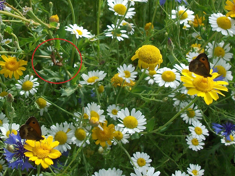 2 Butterflies and Bug<br>16th July 2017
